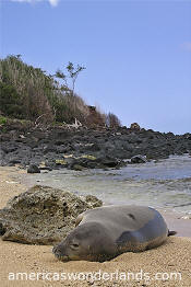 Hawaiian Monk Seal - kauai hawaii pictures