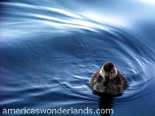 duckling - rocky mountain national park