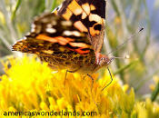 Painted Lady Butterfly - colorado